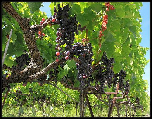 Vigne - Bientôt le temps des Vendanges par redwolf8448