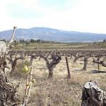 Avril : la vigne commence à repousser par gab113 - St. Pierre de Vassols 84330 Vaucluse Provence France