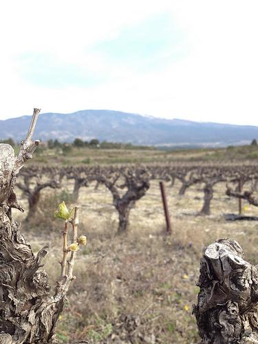 Avril : la vigne commence à repousser par gab113