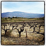 Champs de vignes au pied du Mont-Ventoux by  - St. Pierre de Vassols 84330 Vaucluse Provence France