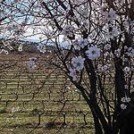 Amandiers sur champs de vigne par gab113 - St. Pierre de Vassols 84330 Vaucluse Provence France