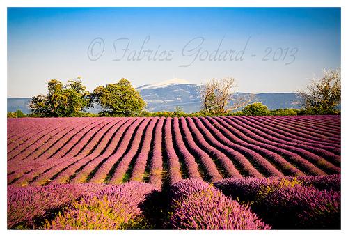 Vu sur le Ventoux - Lavandes en Haute-Provence par F.I.T. World