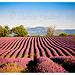 Vu sur le Ventoux - Lavandes en Haute-Provence par F.I.T. World - St. Trinit 84390 Vaucluse Provence France