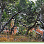 Les pins de Sainte-Croix - Vaison-la-Romaine par Charlottess - Vaison la Romaine 84110 Vaucluse Provence France