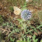Papillon et chardon ! par gab113 - Villes sur Auzon 84570 Vaucluse Provence France