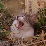 Yawning cat by patrickd80 - Bonnieux 84480 Vaucluse Provence France
