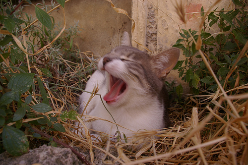 Yawning cat par patrickd80