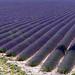 Une marée de lavande à Valensole par Mattia Camellini - Valensole 04210 Alpes-de-Haute-Provence Provence France