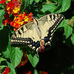 Papilio Machaon (Swallowtail) by bits&bobs -   provence Provence France