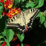 Papilio Machaon (Swallowtail) par bits&bobs -   provence Provence France