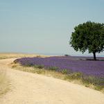 Couleur Lavande ! by Le pot-ager - Puimichel 04700 Alpes-de-Haute-Provence Provence France