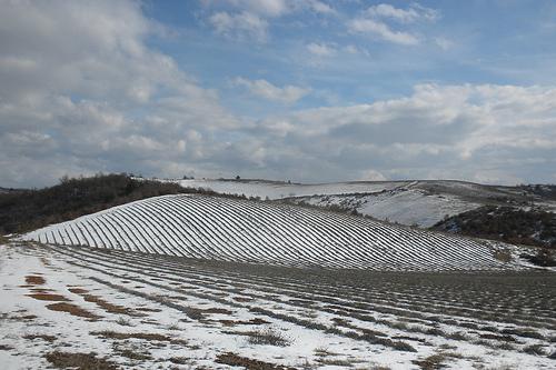 Champ de lavande en hiver by Le pot-ager