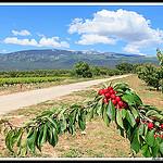 Cerises très rouges et Mont Ventoux par  - Mormoiron 84570 Vaucluse Provence France