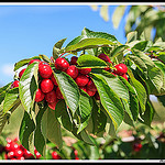 Bouquet de Cerises par Photo-Provence-Passion - Mormoiron 84570 Vaucluse Provence France