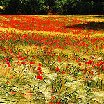 L'invasion des Coquelicots par Josiane D. -   provence Provence France