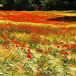 L'invasion des Coquelicots by Josiane D. -   provence Provence France