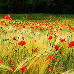 Amapolas by Josiane D. -   provence Provence France