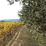 Automne en provence : la vigne jaunit et les olives ramollissent ! par gab113 - Mormoiron 84570 Vaucluse Provence France