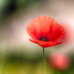 Le printemps fragile - coquelicot by frederic.gombert - Aix-en-Provence 13100 Vaucluse Provence France