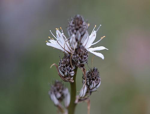 L'asphodèle - fleurs par Christian8340225