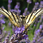Scarce Swallowtail on lavender by GéCau - Valensole 04210 Alpes-de-Haute-Provence Provence France