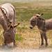 Une ânesse de Provence avec son ânon par Christian8340225 -   Alpes-Maritimes Provence France