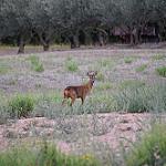 Biche de provence - une belle rencontre du soir par Emmanuel Saur -   provence Provence France