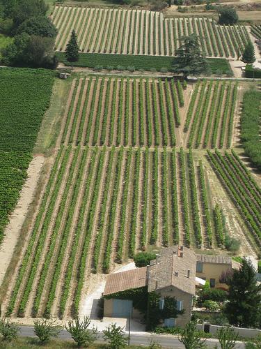 Les vignes bien alignées de Menerbes par Andrew Findlater