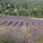 Lavender Field near Abbey of Senanque by Andrew Findlater - Gordes 84220 Vaucluse Provence France
