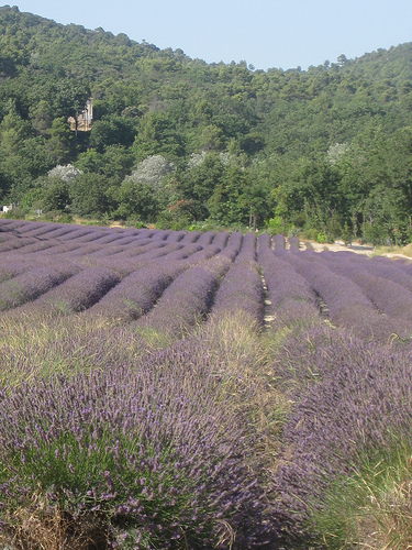 Lavender Field near Abbey of Senanque by Andrew Findlater