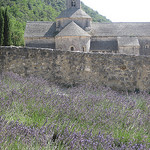 Abbey of Senanque and lavender fields by Andrew Findlater - Gordes 84220 Vaucluse Provence France