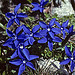 Short-leaved Gentian- Gentiana brachyphylla par  - St. Apollinaire  Hautes-Alpes Provence France
