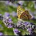 Papillon jaune qui aime la Lavande by Michel-Delli -   provence Provence France