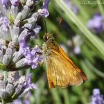 Hesperiides et fleurs de Lavande by canelle*cinnamon ☼ -   provence Provence France
