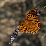 Papillon Mariposa sur un brin de lavande par Gatodidi -   Vaucluse Provence France
