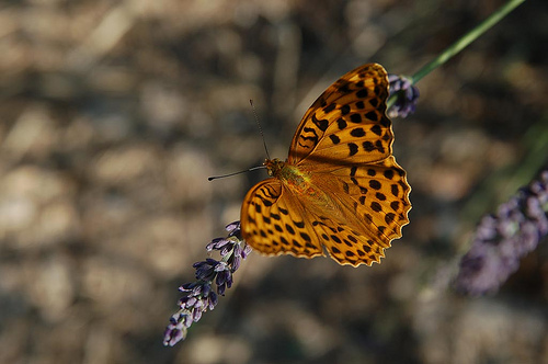 Papillon Mariposa sur un brin de lavande par Gatodidi
