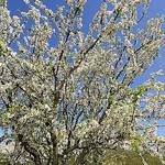 Amandier en fleur : le Printemps arrive ! par DDenjeanMassia - Maussane les Alpilles 13520 Bouches-du-Rhône Provence France