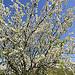 Amandier en fleur : le Printemps arrive ! by DDenjeanMassia - Maussane les Alpilles 13520 Bouches-du-Rhône Provence France