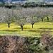 Cerisiers par Vital Nature - Bonnieux 84480 Vaucluse Provence France