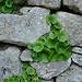 Mur de Pierres et nature par Vital Nature - Buoux 84480 Vaucluse Provence France
