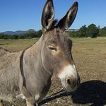 Un bel âne gris de Provence par  - Sault 84390 Vaucluse Provence France