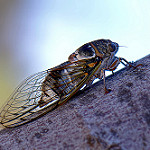 Cicadidae - Cigale par Thierry Balint -   provence Provence France