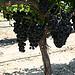 La vigne par nikian2010 - Beaumes de Venise 84190 Vaucluse Provence France