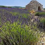 Lavande et Borie autour de Valensole par cigale4 - Valensole 04210 Alpes-de-Haute-Provence Provence France