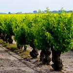 Vigne de Listel en Camargue  by CaroleJuin - Saintes Maries de la Mer 13460 Bouches-du-Rhône Provence France