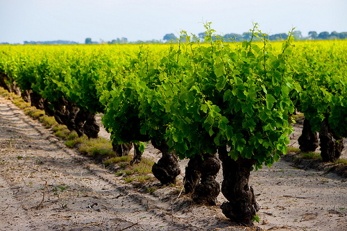 Vigne de Listel en Camargue  by CaroleJuin