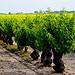 Vigne de Listel en Camargue  par CaroleJuin - Saintes Maries de la Mer 13460 Bouches-du-Rhône Provence France