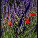 Les couleures de l'été par  - Quinson 04500 Alpes-de-Haute-Provence Provence France