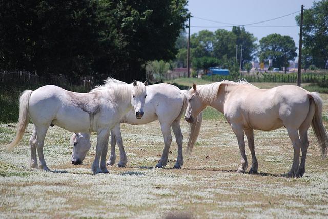 White Horses, Camargue (Bouches-du-Rhône - ville) par Marcxela