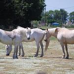 White Horses, Camargue by Marcxela -   Bouches-du-Rhône Provence France